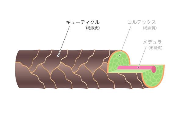 キューティクルの構造